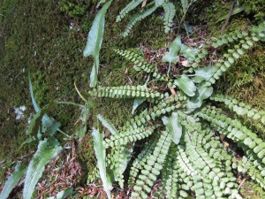 Walking fern & maidenhair spleenwort