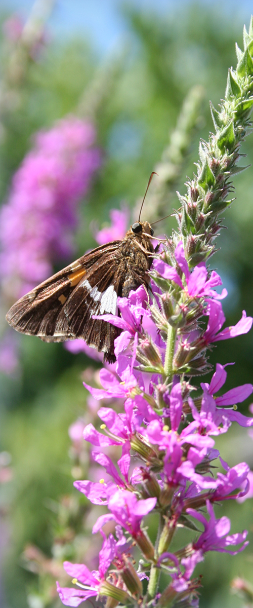purple loosestrife and silver-spotted skipper